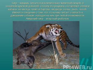 Тигр – хищник, питается исключительно животной пищей, в основном крупной добычей