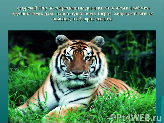 Амурский тигр по современным данным относится к наиболее крупным подвидам, шерсть гуще, чем у тигров, живущих в тёплых районах, а её окрас светлее
