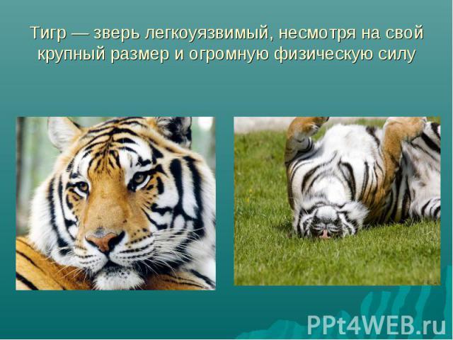 Тигр — зверь легкоуязвимый, несмотря на свой крупный размер и огромную физическую силу