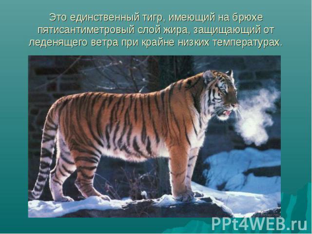 Это единственный тигр, имеющий на брюхе пятисантиметровый слой жира, защищающий от леденящего ветра при крайне низких температурах.