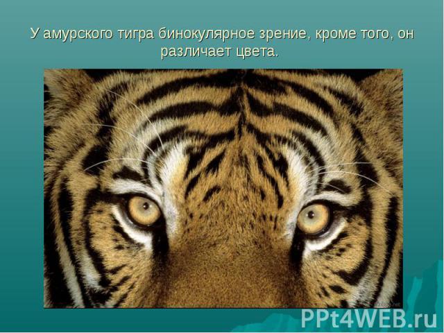 У амурского тигра бинокулярное зрение, кроме того, он различает цвета.