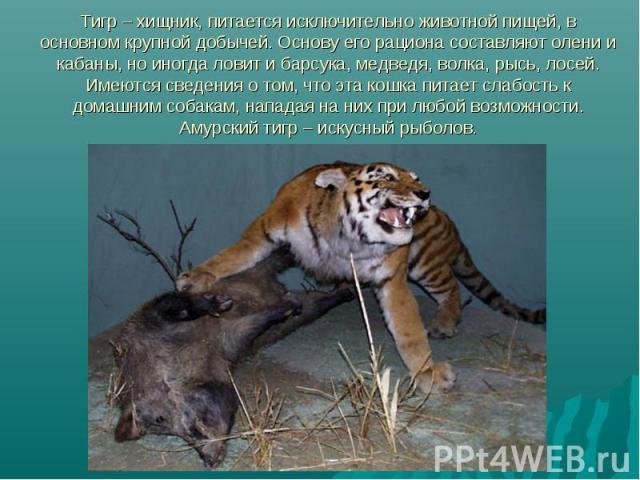 Тигр – хищник, питается исключительно животной пищей, в основном крупной добычей. Основу его рациона составляют олени и кабаны, но иногда ловит и барсука, медведя, волка, рысь, лосей. Имеются сведения о том, что эта кошка питает слабость к домашним …