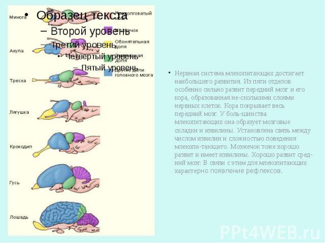 Нервная система млекопитающих достигает наибольшего развития. Из пяти отделов особенно сильно развит передний мозг и его кора, образованная несколькими слоями нервных клеток. Кора покрывает весь передний мозг. У большинства млекопитающих о…