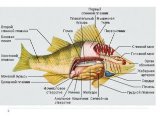 Презентация дыхательная система млекопитающих