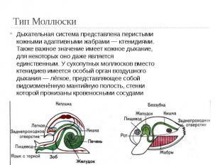 Тип Моллюски Дыхательная система представлена перистыми кожными адаптивными жабр
