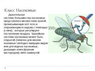 Класс Насекомые Дыхательная системабольшинства насекомых представлена множество