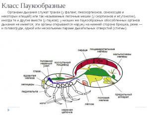 Класс Паукообразные Органами дыханияслужаттрахеи(уфаланг,лжескорпионов,сен