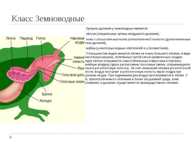 Класс Земноводные Органом дыхания у земноводных являются: лёгкие(специальные органы воздушного дыхания); кожа и слизистая выстилкаротоглоточнойполости (дополнительные органы дыхания); жабры(у некоторых водных обитателей и уголовастиков). У боль…
