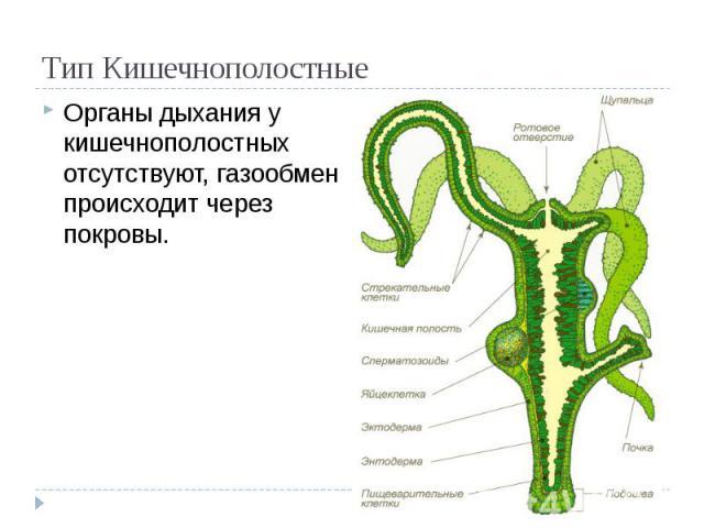 Тип Кишечнополостные Органы дыхания у кишечнополостных отсутствуют, газообмен происходит через покровы.