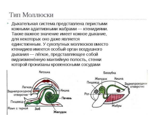Тип Моллюски Дыхательная система представлена перистыми кожными адаптивными жабрами — ктенидиями. Также важное значение имеет кожное дыхание, для некоторых оно даже является единственным. У сухопутных моллюсков вместо ктенидиев имеется особый орган …