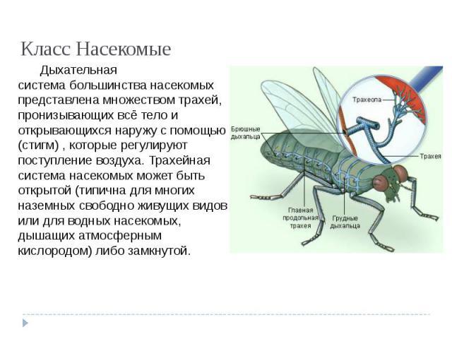 Класс Насекомые Дыхательная системабольшинства насекомых представлена множествомтрахей, пронизывающих всё тело и открывающихся наружу с помощью (стигм) , которые регулируют поступление воздуха. Трахейная система насекомых может быть открытой (типи…