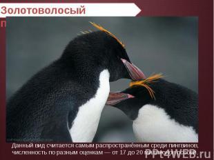 Золотоволосый пингвин Данный вид считается самым распространённым среди пингвино