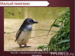 Малый пингвин Малый - самый маленький вид из всех живущих ныне пингвинов.