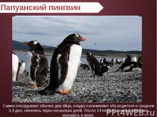 Папуанский пингвин Самка откладывает обычно два яйца, кладку насиживают оба роди