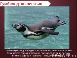 Гумбольдтов пингвин Пингвин Гумбольдта гнездится на каменистых побережьях Чили и
