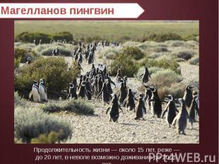 Магелланов пингвин Продолжительность жизни — около 15 лет, реже — до 20 лет, в н