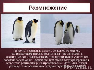 Размножение Пингвины гнездятся чаще всего большими колониями, насчитывающими нер