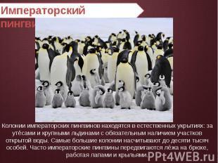 Императорский пингвин Колонии императорских пингвинов находятся в естественных у