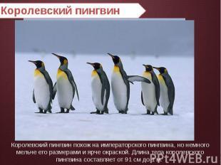 Королевский пингвин Королевский пингвин похож на императорского пингвина, но нем
