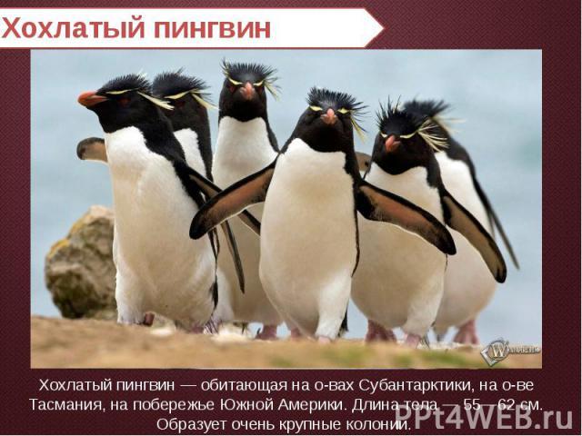 Хохлатый пингвин Хохлатый пингвин — обитающая на о-вах Субантарктики, на о-ве Тасмания, на побережье Южной Америки. Длина тела — 55—62 см. Образует очень крупные колонии.