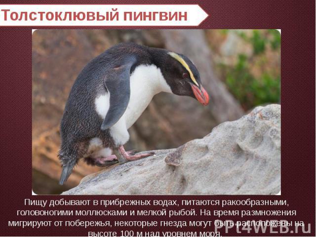 Толстоклювый пингвин Пищу добывают в прибрежных водах, питаются ракообразными, головоногими моллюсками и мелкой рыбой. На время размножения мигрируют от побережья, некоторые гнезда могут быть расположены на высоте 100 м над уровнем моря.