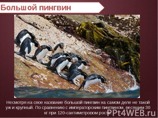 Большой пингвин Несмотря на свое название большой пингвин на самом деле не такой уж и крупный. По сравнению с императорским пингвином, весящим 30 кг при 120-сантиметровом росте.