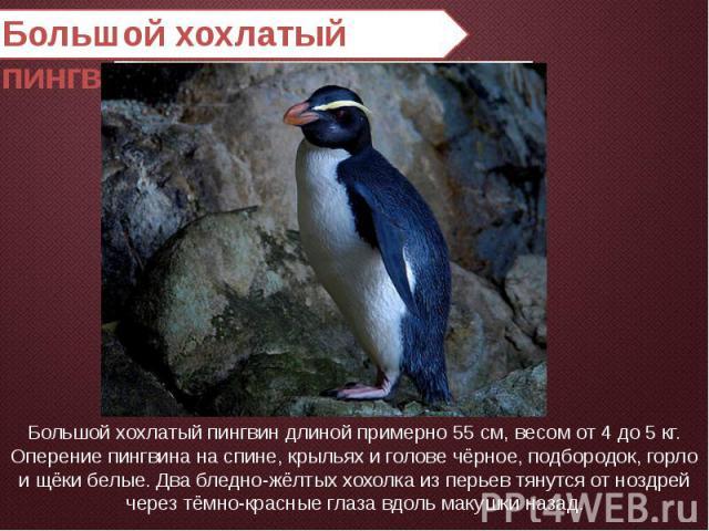 Большой хохлатый пингвин Большой хохлатый пингвин длиной примерно 55 см, весом от 4 до 5 кг.Оперение пингвина на спине, крыльях и голове чёрное, подбородок, горло и щёки белые. Два бледно-жёлтых хохолка из перьев тянутся от ноздрей через тёмно-красн…