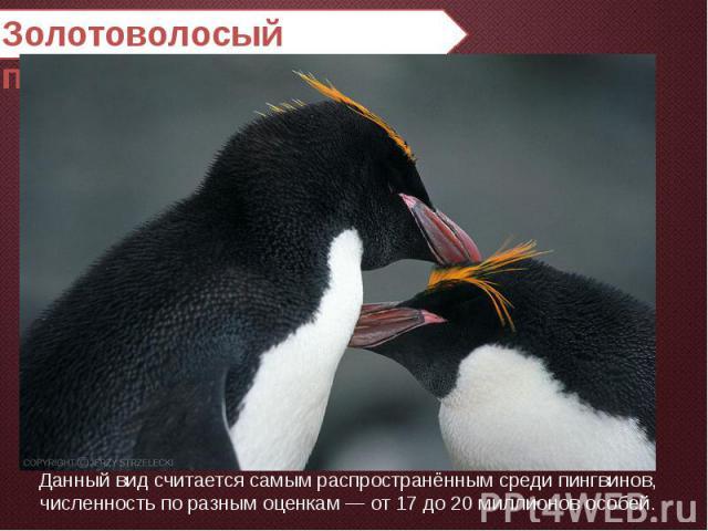 Золотоволосый пингвин Данный вид считается самым распространённым среди пингвинов, численность по разным оценкам — от 17 до 20 миллионов особей.