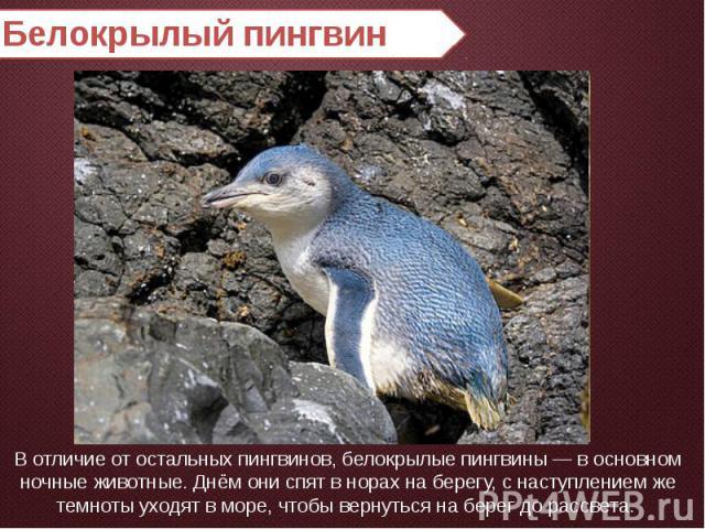 Белокрылый пингвин В отличие от остальных пингвинов, белокрылые пингвины — в основном ночные животные. Днём они спят в норах на берегу, с наступлением же темноты уходят в море, чтобы вернуться на берег до рассвета.