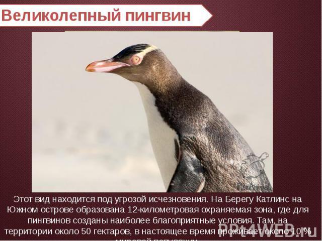 Великолепный пингвин Этот вид находится под угрозой исчезновения. На Берегу Катлинс на Южном острове образована 12-километровая охраняемая зона, где для пингвинов созданы наиболее благоприятные условия. Там, на территории около 50 гектаров, в настоя…