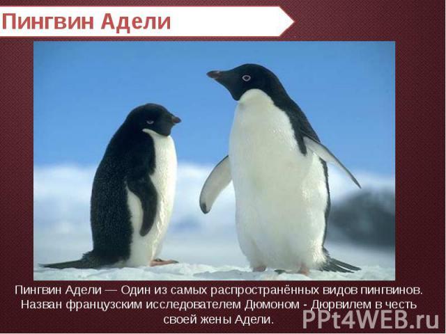Пингвин Адели Пингвин Адели — Один из самых распространённых видов пингвинов. Назван французским исследователем Дюмоном - Дюрвилем в честь своей жены Адели.