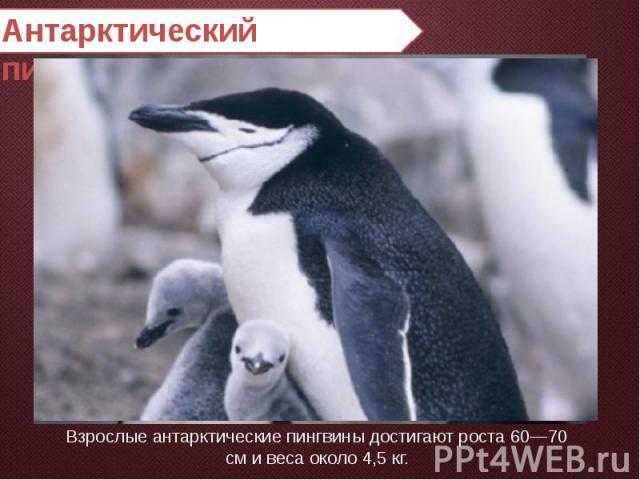 Антарктический пингвин Взрослые антарктические пингвины достигают роста 60—70 см и веса около 4,5 кг.