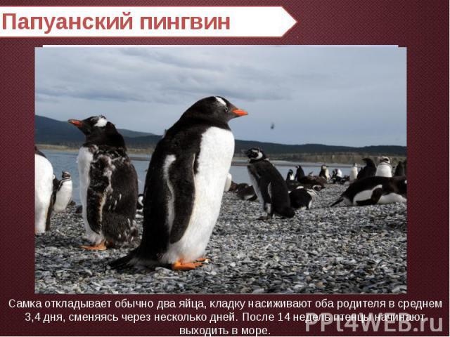 Папуанский пингвин Самка откладывает обычно два яйца, кладку насиживают оба родителя в среднем 3,4 дня, сменяясь через несколько дней. После 14 недель птенцы начинают выходить в море.