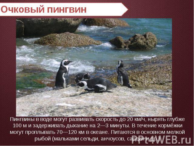 Очковый пингвин Пингвины в воде могут развивать скорость до 20 км/ч, нырять глубже 100 м и задерживать дыхание на 2—3 минуты. В течение кормёжки могут проплывать 70—120 км в океане. Питаются в основном мелкой рыбой (мальками сельди, анчоусов, сардин…