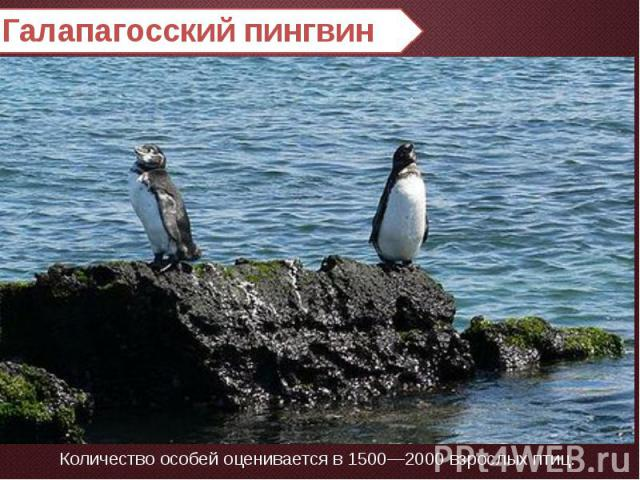 Галапагосский пингвин Количество особей оценивается в 1500—2000 взрослых птиц.