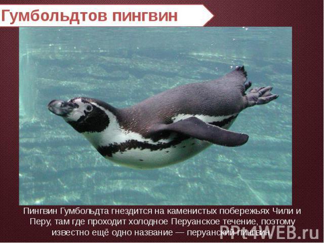 Гумбольдтов пингвин Пингвин Гумбольдта гнездится на каменистых побережьях Чили и Перу, там где проходит холодное Перуанское течение, поэтому известно ещё одно название — перуанский пингвин.