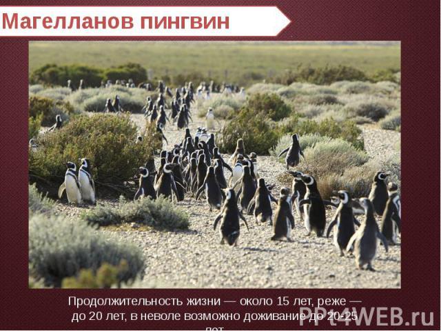Магелланов пингвин Продолжительность жизни — около 15 лет, реже — до 20 лет, в неволе возможно доживание до 20-25 лет.