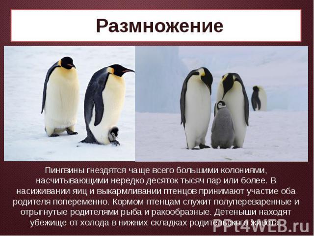 Размножение Пингвины гнездятся чаще всего большими колониями, насчитывающими нередко десяток тысяч пар или более. В насиживании яиц и выкармливании птенцов принимают участие оба родителя попеременно. Кормом птенцам служит полупереваренные и отрыгнут…