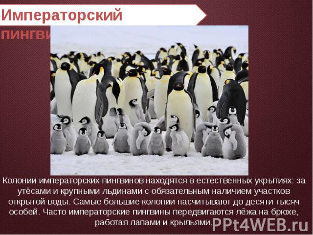 Императорский пингвин Колонии императорских пингвинов находятся в естественных укрытиях: за утёсами и крупными льдинами с обязательным наличием участков открытой воды. Самые большие колонии насчитывают до десяти тысяч особей. Часто императорские пин…