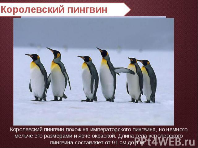Королевский пингвин Королевский пингвин похож на императорского пингвина, но немного мельче его размерами и ярче окраской. Длина тела королевского пингвина составляет от 91 см до 1 м.