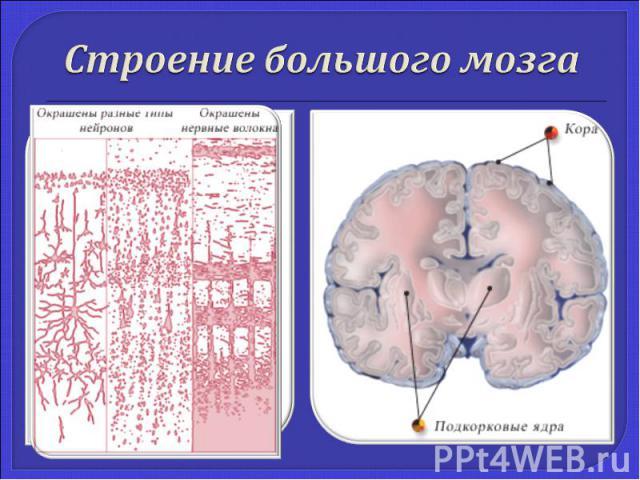 Строение большого мозга