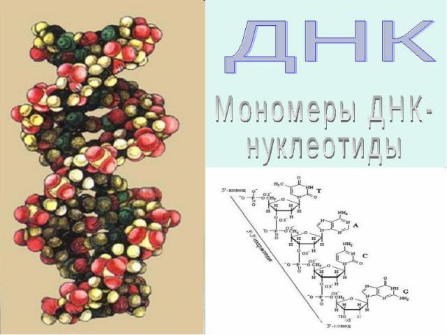Мономеры ДНК-нуклеотиды