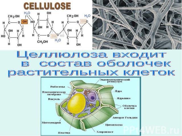 Целлюлоза входит в состав оболочекрастительных клеток