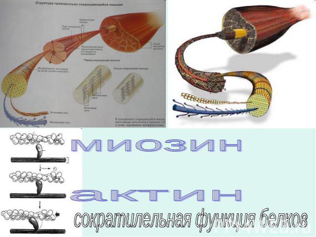 миозинактинсократилельная функция белков