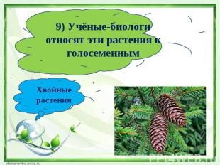 9) Учёные-биологи относят эти растения к голосеменнымХвойные растения