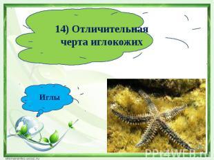 14) Отличительная черта иглокожихИглы