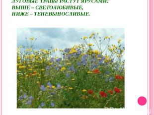 Луговые травы растут ярусами:выше – светолюбивые,ниже – теневыносливые.