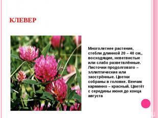 Многолетнее растение, стебли длинной 20 – 40 см., восходящие, неветвистые или сл