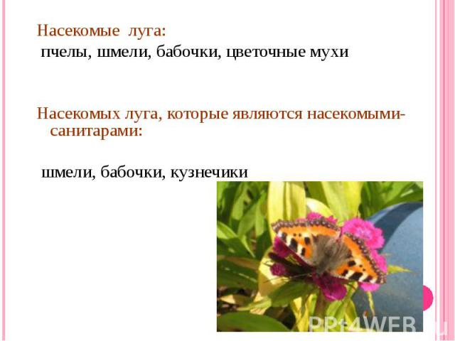 Насекомые луга: пчелы, шмели, бабочки, цветочные мухиНасекомых луга, которые являются насекомыми-санитарами: шмели, бабочки, кузнечики