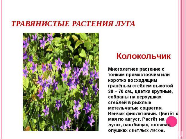 Травянистые растения лугаМноголетнее растение с тонким прямостоячим или коротко восходящим гранёным стеблем высотой 30 – 70 см., цветки крупные, собраны на верхушках стеблей в рыхлые метельчатые соцветия. Венчик фиолетовый. Цветёт с мая по август. Р…